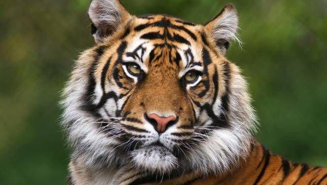 tiger.jpg.653x0_q80_crop-smart.jpg